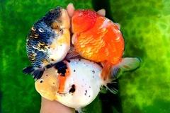 Trại cá vàng hơn 1 tỷ đồng trên sân thượng nhà dân ở TP.HCM