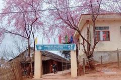 Hoa anh đào 'bung lụa' tuyệt đẹp ở trường học miền Tây xứ Nghệ