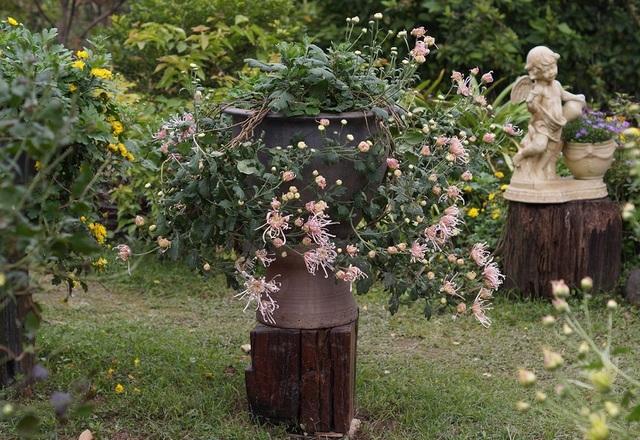 Mãn nhãn với vườn cúc cổ, đẹp mê hồn giữa lòng Hà Nội
