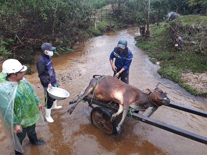 Gần 1.000 gia súc bị chết rét, TT-Huế tức tốc lập đoàn kiểm tra