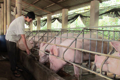 Despite imports from Thailand, pork prices are still going up before Tet