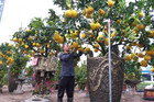 Cây cảnh... lãnh đủ: Ma trận bonsai