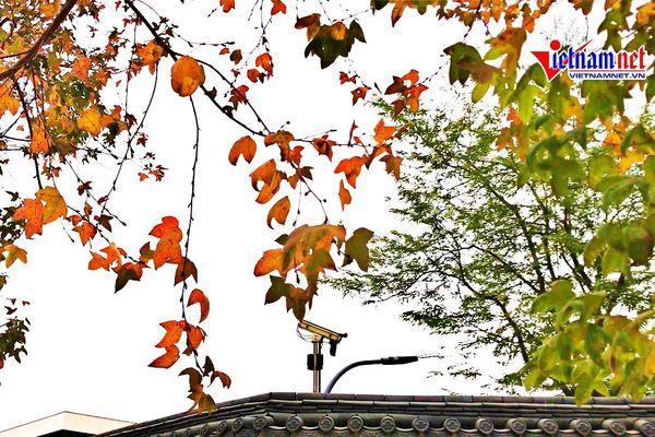 Hàng phong lá đỏ rực rỡ như 'trời Âu' giữa Hà Nội