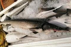 Loạn giá cá tầm lậu Trung Quốc, đề nghị xử nghiêm kẻ tiếp tay