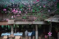 Vì sao Lào Cai không dán tem truy xuất nguồn gốc cây đào?