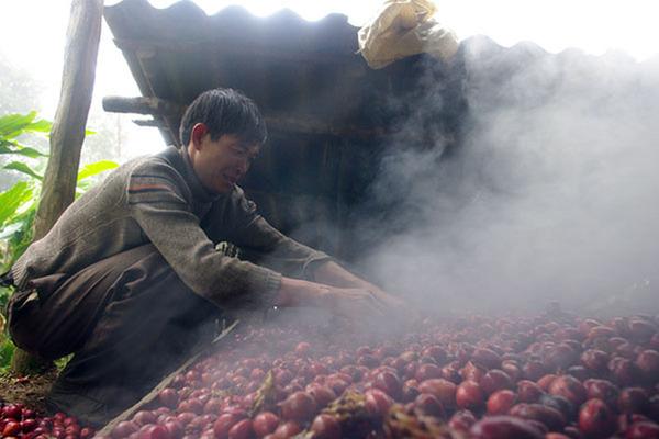 Dân Lào Cai vào rừng sâu trồng loại cây hiếm, chỉ 1 mùa quả thu cả trăm tỷ đồng