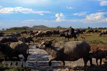 Buffalo herd in Binh Thuan Province