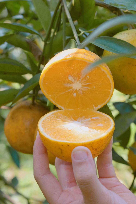 Chàng trai Hà Nội về quê trồng cam, thu nhập hàng tỷ đồng