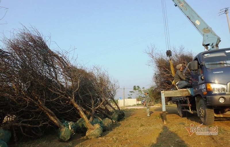 Cấm chặt đào rừng, thương lái đổ xô đặt cọc đào phai xứ Thanh