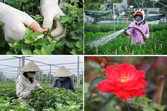 Nhân công ở Đà Nẵng khéo léo chăm hoa bán Tết