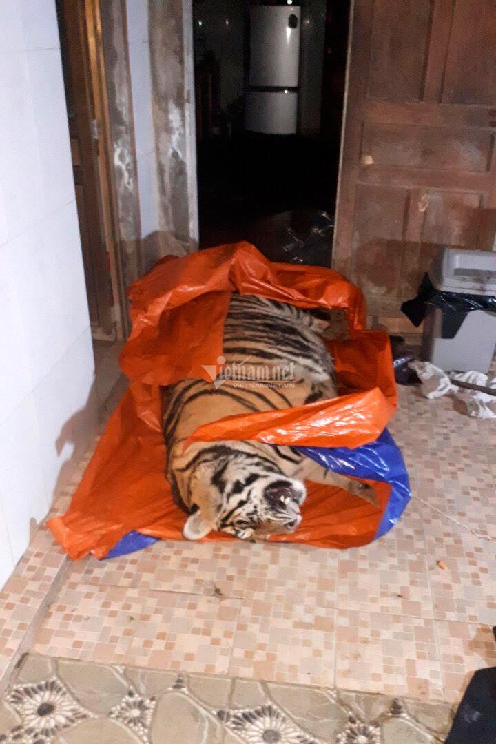 Công an Hà Tĩnh phát hiện cá thể hổ nặng 250kg trong nhà dân