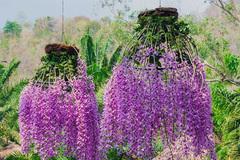 3 loại hoa lan 'đắt xắt ra miếng' những nhà có tiền hay chọn mua dịp Tết