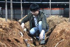 Nuôi trồng thành công nấm Phục Linh trên cây thông 3 lá