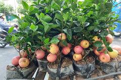 Tưởng giống táo lùn siêu trái, nhiều người mua phải táo gắn lên cây dành dành