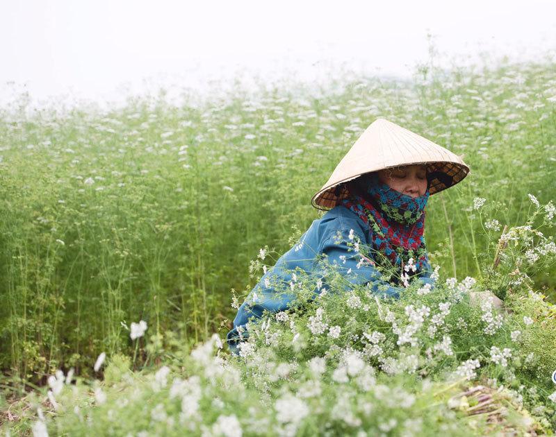 Trồng cánh đồng mùi già bát ngát, giữ hương cho khách tắm thơm đêm 30 Tết