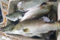 Cá vược rớt giá chỉ còn 65.000 đồng/kg, nông dân xót xa bán lẻ từng con