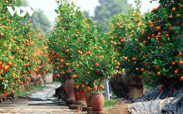Tu Lien kumquat village prepares for Tet holiday