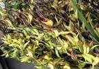 Hiếm có mùa Tết: Lan Trần Mộng siêu rẻ, 20 nghìn/cành hoa dài cả mét