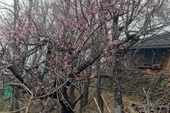 Forest peach tree sales for Tet stall, authorities check origin to ensure protection of wild trees