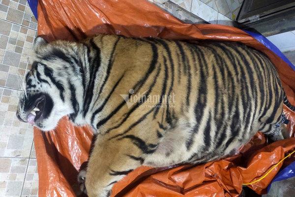 Buôn 7 con hổ xuyên quốc gia, ông trùm cao hổ xứ Nghệ trả giá