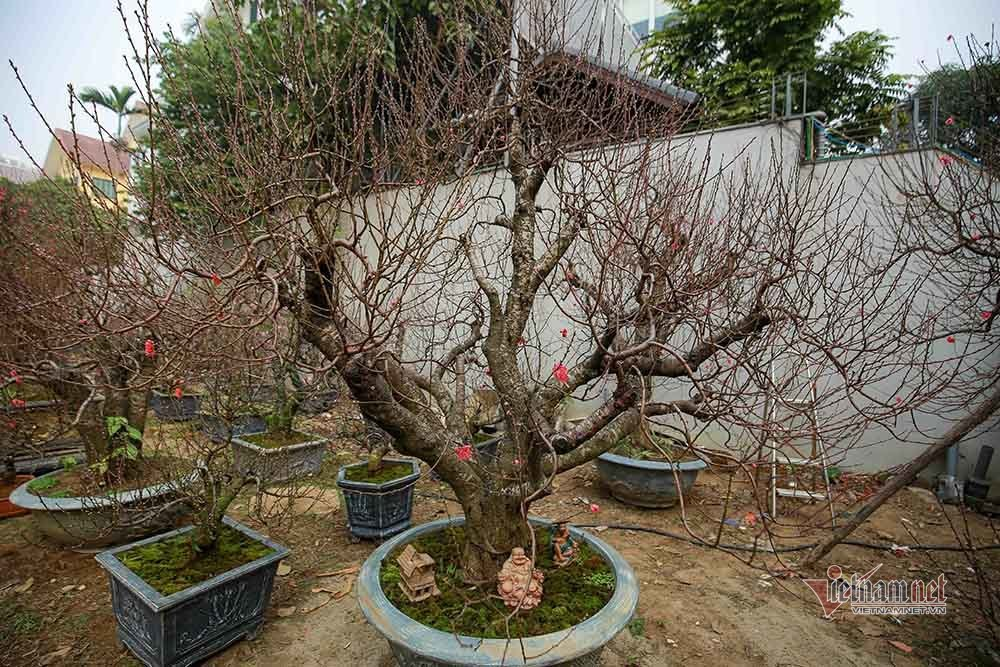 Gốc đào cổ người lớn ôm không xuể, rao giá trăm triệu ở Hà Nội