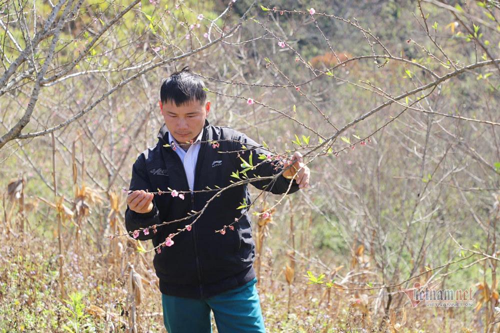 Chỉ một thao tác, người mua biết được tuổi cây đào trồng xa hàng trăm km
