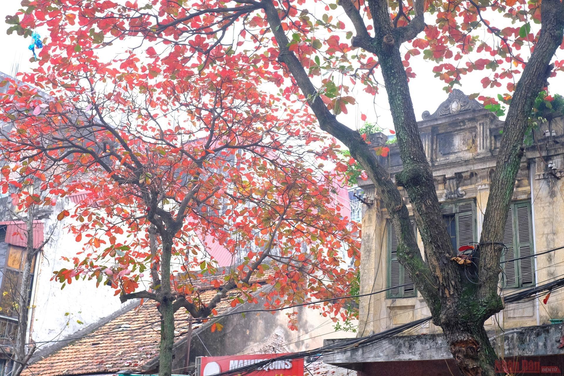 Brilliant Hanoi in leaf-changing season of 'bang' trees