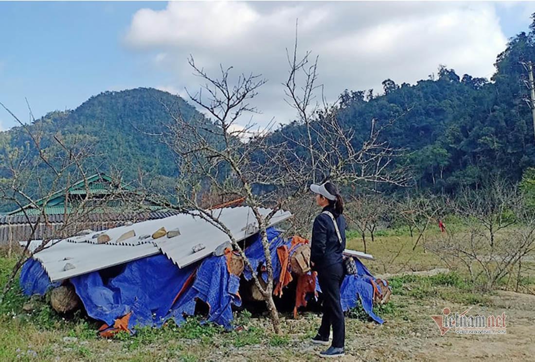 Khan hiếm nguồn đào ở Lào, đào rừng Nghệ An giá tăng vọt