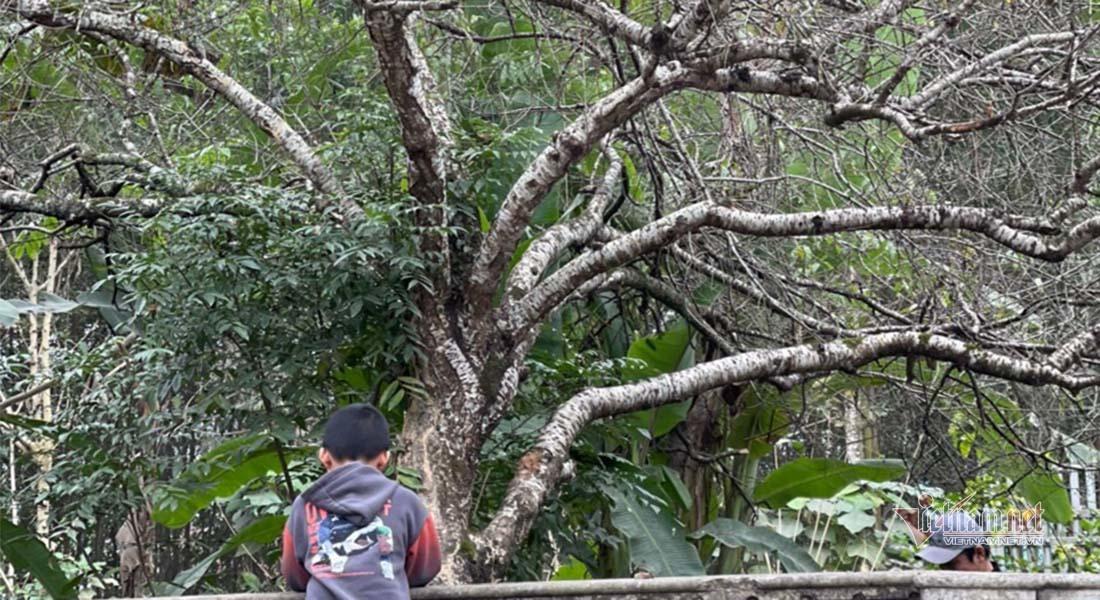 Đào cổ thụ trăm tuổi có 9 nhánh ngã giá hơn 120 triệu không bán