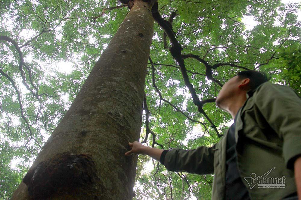 Chuyện đặc biệt của ông già 'gàn dở' với rừng lim cổ thụ