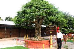 Cây sanh bonsai có đường kính tán lớn nhất Việt Nam