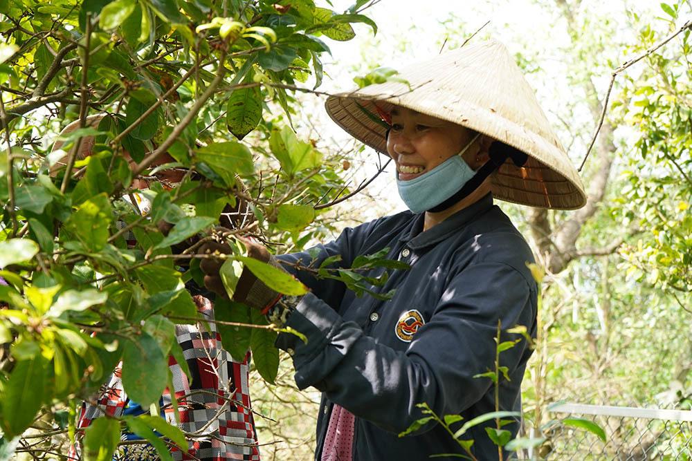 Phụ nữ ở miền Tây đổ xô lặt lá mai, kiếm tiền triệu tiêu Tết