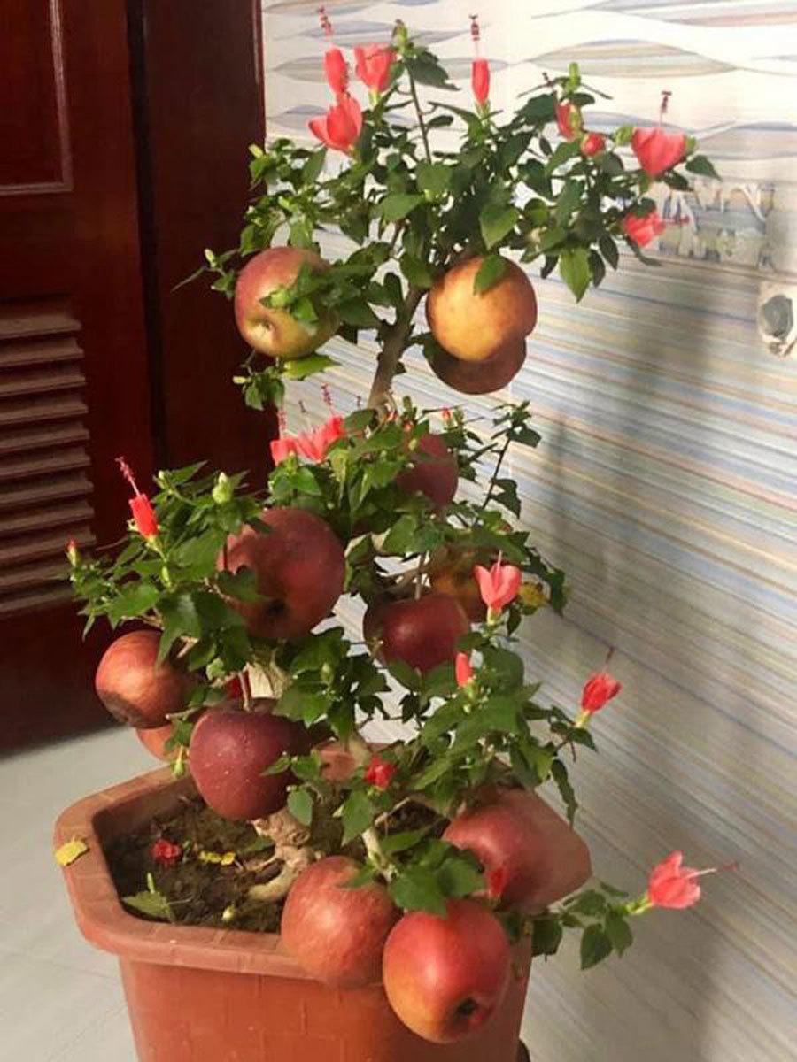 Cú lừa đau: Táo bonsai nở hoa dâm bụt, hải đường chi chít nụ keo 502