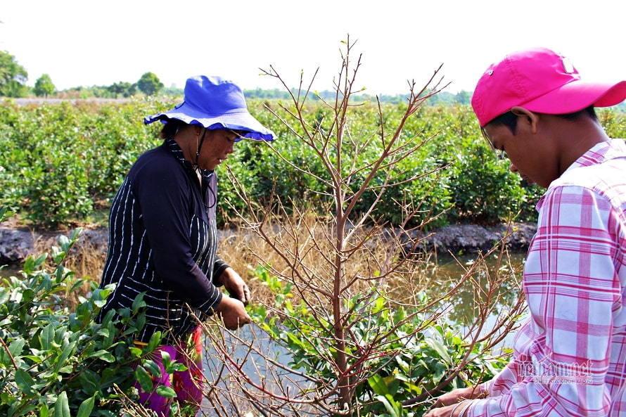Những ngày rộn ràng trên cánh đồng mai Tết ở Sài Gòn