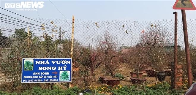 Chạy đua với Covid-19, chủ vườn Nhật Tân tranh thủ 'xả' đào Tết