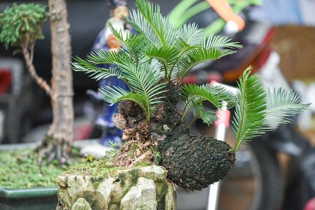 Vạn tuế bonsai mini chơi Tết giá chục triệu đồng ở Hà Nội