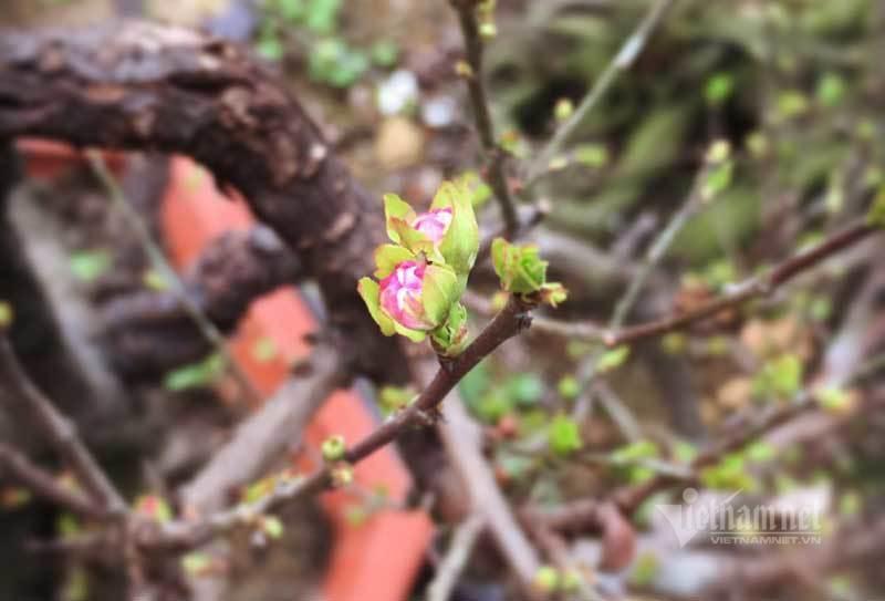 Vườn mai trắng 1.500 cây bung nở, mùa Tết thu ngay 1 tỷ đồng