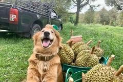 Chú chó nổi tiếng vì 7 năm theo chủ bán sầu riêng ở Thái Lan