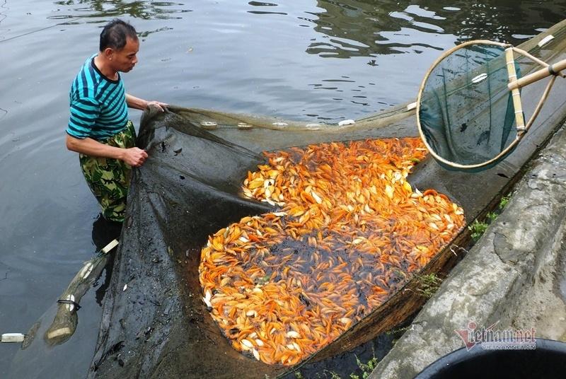 Cúng ông Công, ông Táo: Cá chép đỏ đắt gấp đôi, vét ao thu trăm triệu
