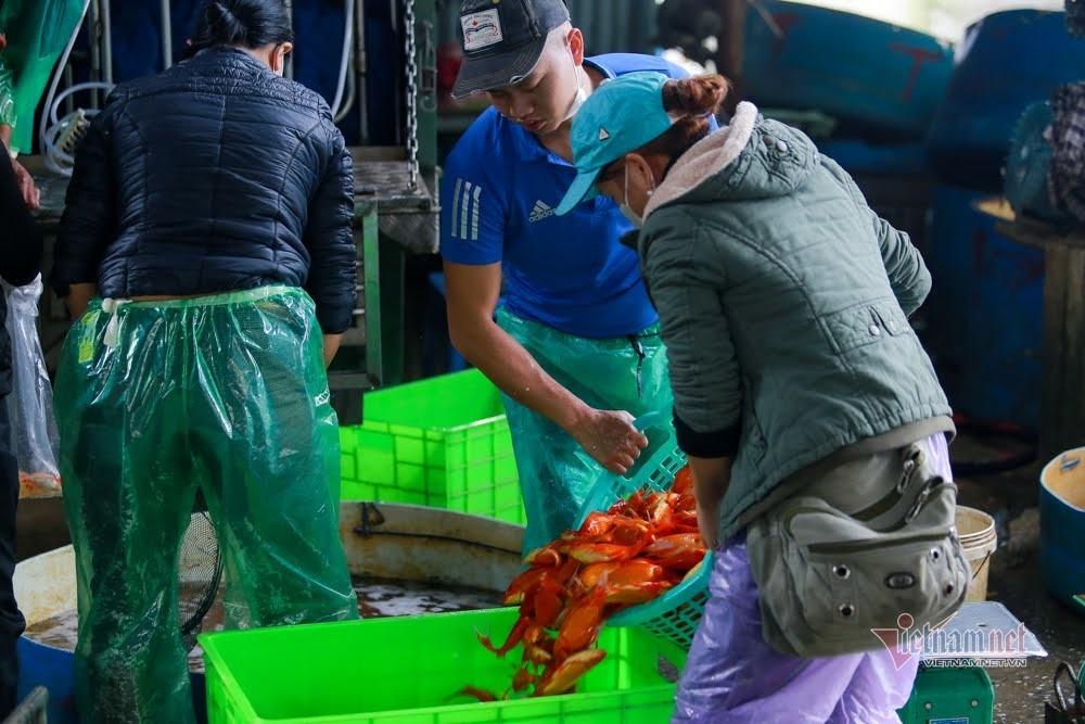 Tiểu thương 18 năm buôn loài cá đỏ rực, kể chuyện 1 ngày chốt hàng kỷ lục