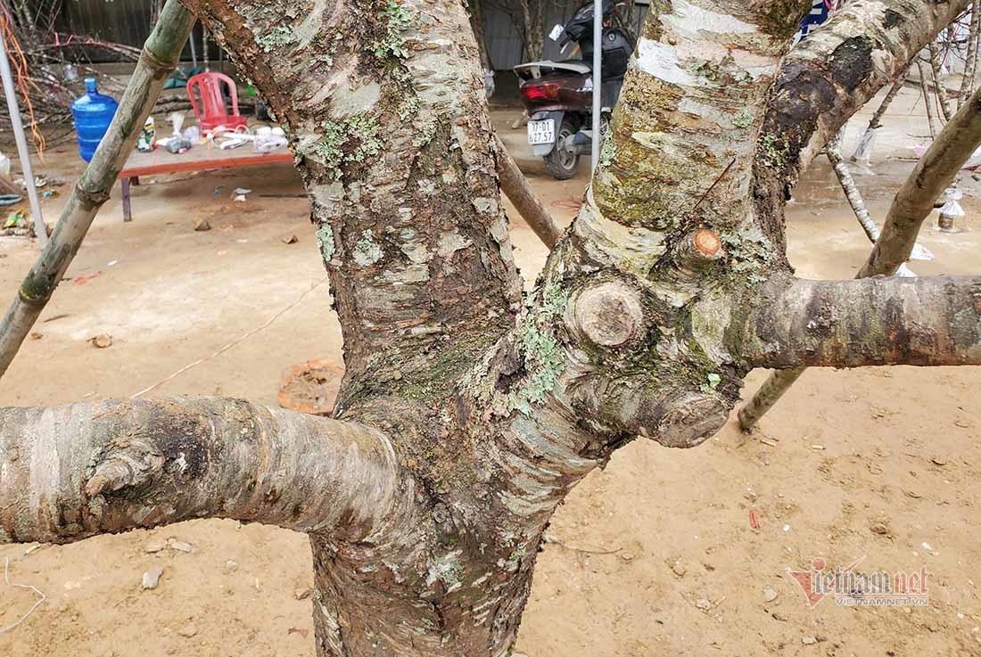 """Đông đảo người dân chiêm ngưỡng cây đào thế """"bàn tay Phật"""" giá trên trăm triệu"""