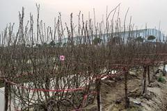 Làng đào Hải Dương nguy khốn, lên mạng rao bán gấp 1.000 gốc