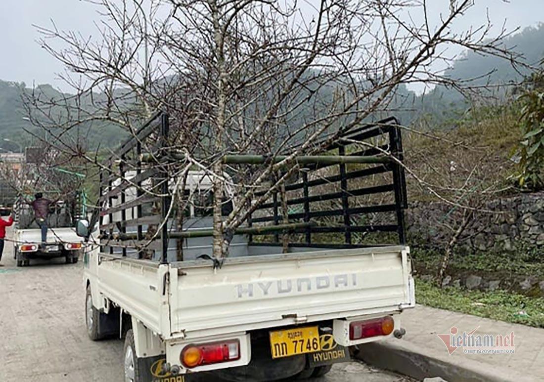 Dàn xe chở đào ở Lào nhộn nhịp, lén lút nhập cảnh vào Nghệ An