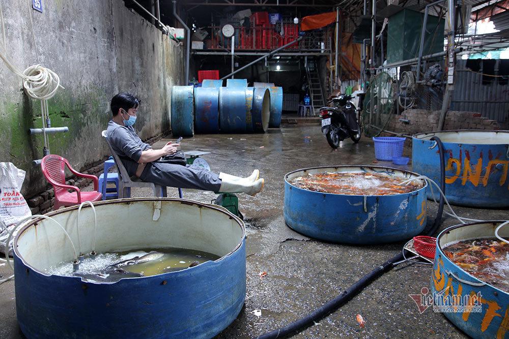 Độc nhất Việt Nam, sắm cá Koi lai về cúng ông Công ông Táo
