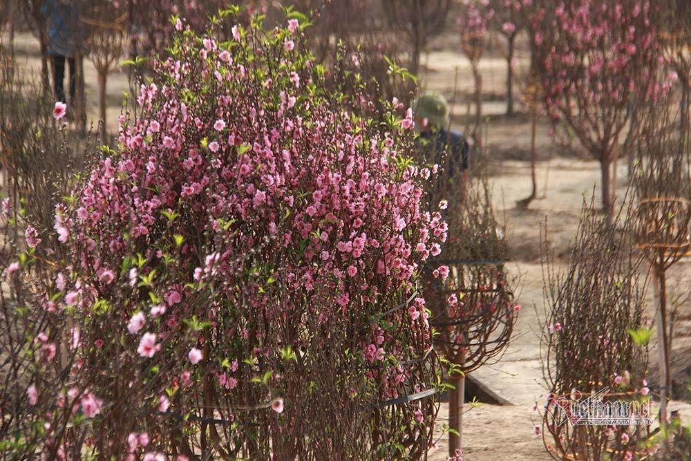 Viễn cảnh trắng tay ở làng đào nằm trong khu phong tỏa Covid-19