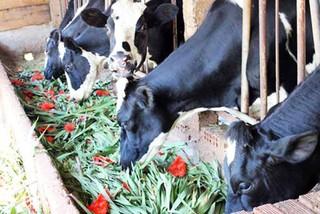 Dưa hấu đổ đống ế đầy đồng, hoa lay ơn về cho bò ăn