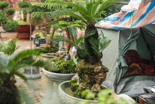 Vạn tuế bonsai hàng chục triệu đồng hút khách mua