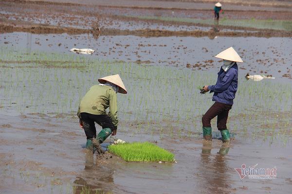 Đội quân 'giải cứu' ruộng trong khu phong tỏa tâm dịch Chí Linh ngày giáp Tết