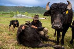 Hành trình đưa con trâu vào đất Mỹ của anh nông dân Venezuela