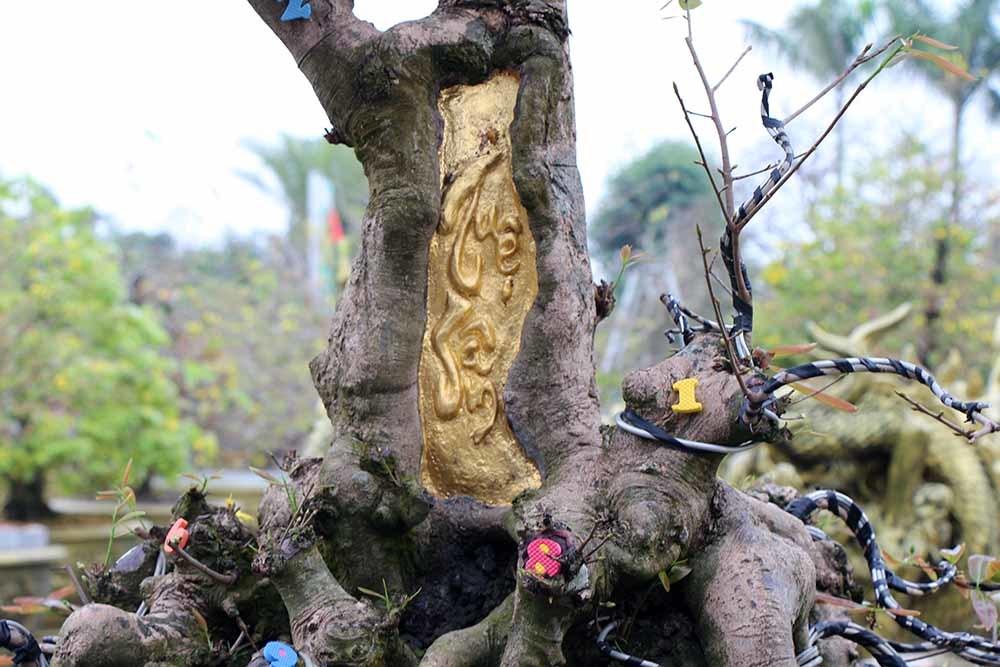 Nổi nhất miền Tây: Cây mai có gốc to như thân người, giá 4 tỷ đồng